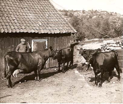 Huvik: Johan Bjørvik fotografert med kuene utafor fjøset på Huvik gård i 1939. Fjøset lå der Vesterøy kirke ligger i dag. Johan Bjørvik drev Huvik gård fra 1921 og frem til 1945. Da ble gården ble overtatt av Ola Bjørvik som drev med griser i uthuset frem til 1954. Foto er utlånt av Tor Bjørvik.